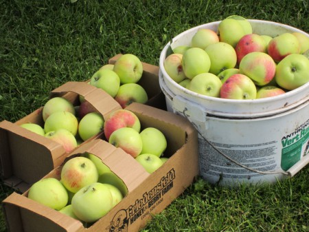 Harvest Of Apples!